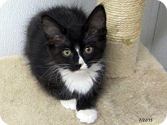 Domestic Mediumhair Kitten for adoption in Republic, Washington - Panther