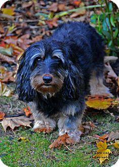 Dachshund Dog for adoption in Toronto, Ontario - Eddie