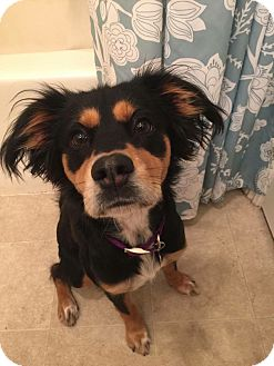 King Charles Spaniel Mix Puppy for adoption in Redondo Beach, California - Sadie Mae