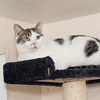 Domestic Shorthair Cat for adoption in Chicago, Illinois - Lilly