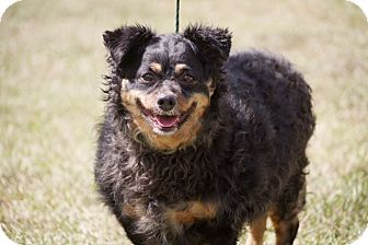 King Charles Spaniel Mix Dog for adoption in Southern Pines, North Carolina - Blackie