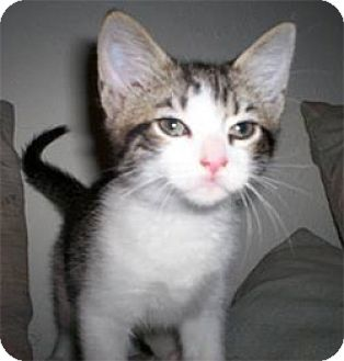 Domestic Shorthair Kitten for adoption in Garland, Texas - Zucco