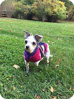Shih Tzu Mix Dog for adoption in Wilmington, Delaware - Daisy