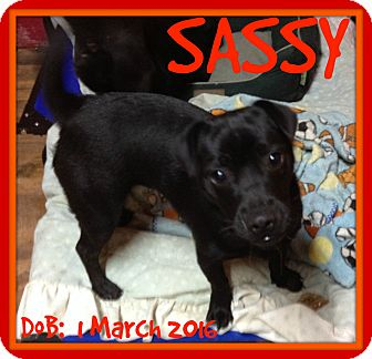 Pug Mix Dog for adoption in Halifax, Nova Scotia - SASSY