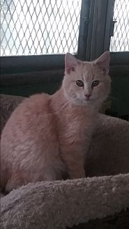 Domestic Shorthair Cat for adoption in Pie Town, New Mexico - Pinky Pie