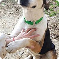Adopt A Pet :: Banjo - Fredericksburg, VA