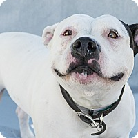 American Staffordshire Terrier Mix Dog for adoption in Agoura, California - Emily