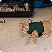 Adopt A Pet :: Donut - San Juan Capistrano, CA