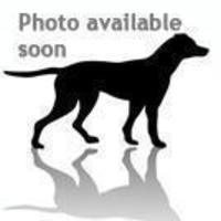Adopt A Pet :: Saleena - Columbia, SC