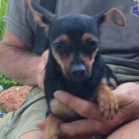 Adopt A Pet :: Connie($200) - Redding, CA
