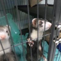 Adopt A Pet :: Raven - Fallston, MD
