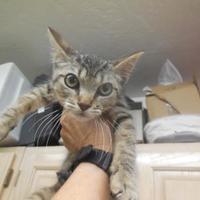 Adopt A Pet :: Hendrix - Morgan Hill, CA