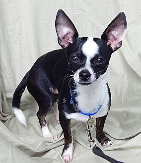 Chihuahua Puppy for adoption in Burlington, Vermont - Boomer (8 lb) Loving Boy