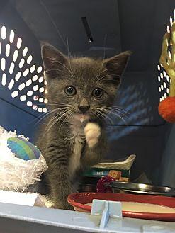 Domestic Shorthair Kitten for adoption in Goshen, New York - Oliver
