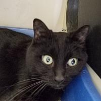 Adopt A Pet :: Domino - Elyria, OH