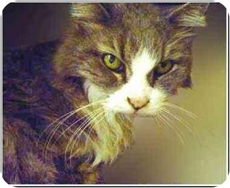 Domestic Mediumhair Cat for adoption in San Clemente, California - JUBILEE