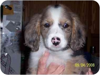 Brittany/Golden Retriever Mix Puppy for adoption in Grant Park, Illinois - Rocco