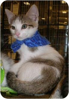Domestic Shorthair Kitten for adoption in Yorba Linda, California - Scooby
