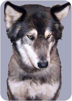 Husky Mix Dog for adoption in Grass Valley, California - Miller
