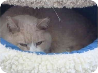 Domestic Shorthair Cat for adoption in New Fairfield, Connecticut - Honey