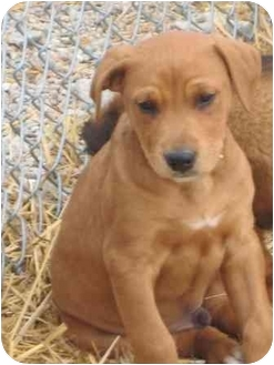 Labrador Retriever/Shepherd (Unknown Type) Mix Puppy for adoption in Florence, Indiana - Champ