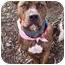 Photo 1 - Pit Bull Terrier Mix Dog for adoption in Phoenix, Oregon - Alibi