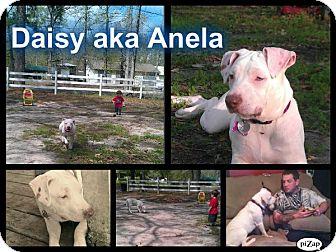 American Pit Bull Terrier Dog for adoption in Geismar, Louisiana - Daisy aka Anela
