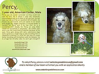 Cocker Spaniel Dog for adoption in Ottawa, Ontario - Percy