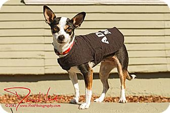Chihuahua Mix Dog for adoption in San Diego, California - Henny