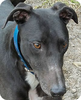 Greyhound Dog for adoption in Longwood, Florida - AB Double Strike