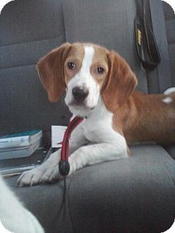 Beagle Mix Puppy for adoption in Manassas, Virginia - Tucker