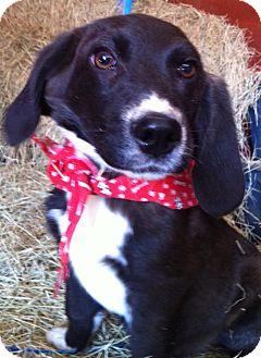 Basset Hound/Catahoula Leopard Dog Mix Puppy for adoption in Glastonbury, Connecticut - Waylon