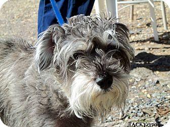 Schnauzer (Miniature) Mix Dog for adoption in Waldorf, Maryland - Tacky #370