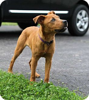 Labrador Retriever/Boxer Mix Dog for adoption in Salem, New Hampshire - GINGER SNAP**