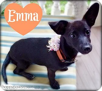 Dachshund Mix Puppy for adoption in South Plainfield, New Jersey - Emma