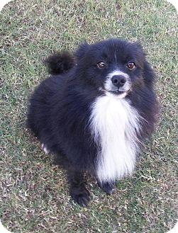 Pomeranian Dog for adoption in Snyder, Texas - Tux