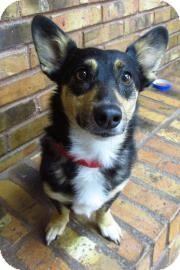 Corgi Mix Dog for adoption in Benbrook, Texas - Sadie