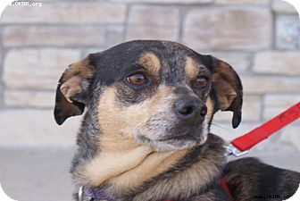 Corgi/Terrier (Unknown Type, Medium) Mix Dog for adoption in Norman, Oklahoma - Marvin