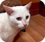 Domestic Shorthair Cat for adoption in Wheaton, Illinois - Mr. Meowgi