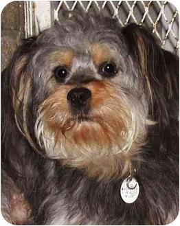Miniature Poodle/Miniature Schnauzer Mix Dog for adoption in El Segundo, California - Atreau