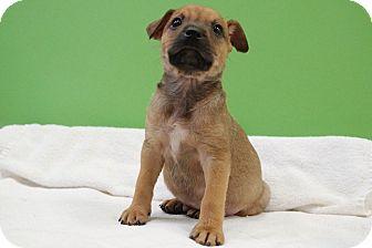 Terrier (Unknown Type, Medium) Mix Puppy for adoption in Houston, Texas - Tate