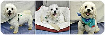 Maltese Mix Dog for adoption in Forked River, New Jersey - Snowball