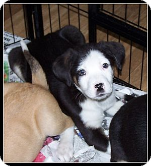 Cattle Dog/Border Collie Mix Puppy for adoption in Milford, New Jersey - Mia