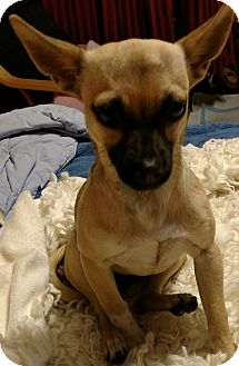 Chihuahua Mix Dog for adoption in San Diego, California - Kelly