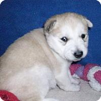 Adopt A Pet :: Puppy Daffodil - Augusta County, VA
