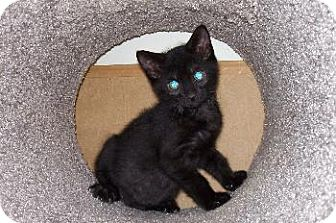 Domestic Shorthair Kitten for adoption in Island Heights, New Jersey - Midnite