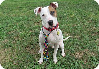 American Bulldog Mix Dog for adoption in Lexington, North Carolina - Boo