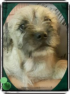 Schnauzer (Miniature)/Poodle (Miniature) Mix Puppy for adoption in Los Angeles, California - Baby Huey
