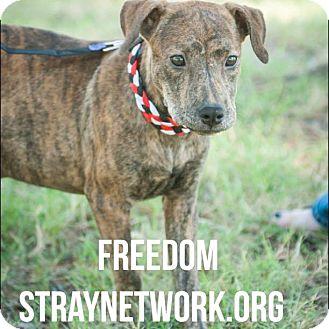 Labrador Retriever Mix Puppy for adoption in Colmar, Pennsylvania - Freedom