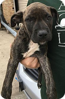 Cattle Dog Mix Puppy for adoption in Oak Park, Illinois - Mathis